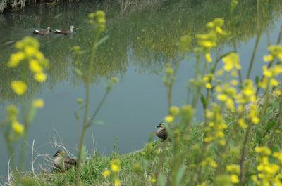 稗田川で見られる鳥たち